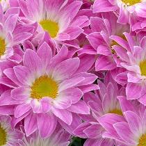 Ziedi: Rozā krizantēmas. Izveido savu pušķi!