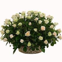 Ziedu kompozīcija: Baltu rožu klēpis Tev!